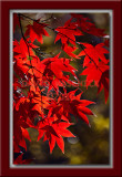 Red Maple - Very Red!