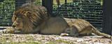 Pantera leo