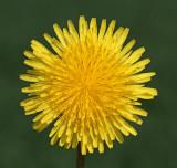 Wild Flowers in Sweden