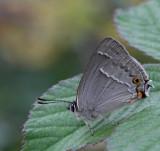 Eksnabbvinge, (Favonius quercus)