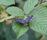Eksnabbvinge, (Favonius quercus), male