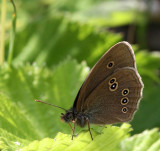 Luktgräsfjäril, (Aphantopus hyperantus)