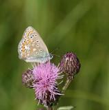 Ljungblåvinge, (Plebejus argus), female