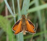 Mindre tåtelsmygare, hona, (Thymelicus lineola)