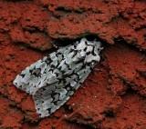 Grönt ekfly, (Dichonia aprilina)