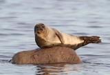 Seals in Sweden