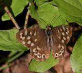 Speckled Wood, Kvickgräsfjäril