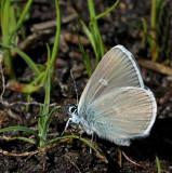 Ängsblåvinge, (Polyommatus semiagrus), male