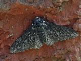 Björkmätare (Biston betularia), dark morf