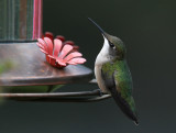 Colibri gorge rubis