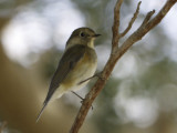 Red-flanked Bluetail.