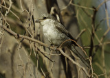 Masked Shrike.