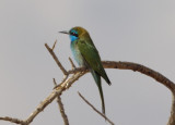Green Bee-eater.