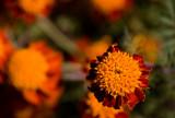 Chrysanthemum- MUM