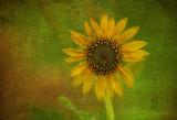 Today's Sunflower