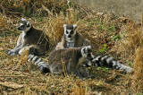 Lemurs at the Louisville, Ky zoo