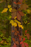Fall colors creeping up a Kentucky tree......