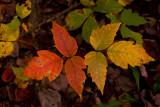 Poison ivy....