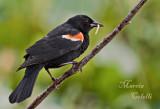 REDWING BLACKBIRD_0584.jpg