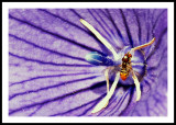 SYRPHID FLIES MATING ON BALLOON FLOWER_0829a.jpg