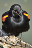 RED-WING-BLACKBIRD_3011.jpg