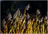 Autumn grasses (backlit, of course).