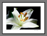 White lily (again)