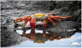 Sally-lightfoot crab, Galapagos