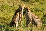 Cheetah mother (pregnant) with older cub
