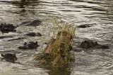 Hippo splashing in the water