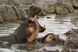 The big yawn - hippos