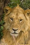 775_1162_young male lion_Serengeti.jpg