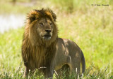 Male Lion - The King
