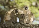 Vervet Monkeys with babies suckling