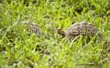 Tortoises in the grass