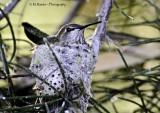 Hummingbird sitting on Nest