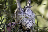 Anna Hummingbird chicks