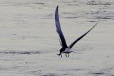 Foster Tern