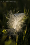 Snowy Egret Feather