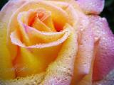 Pearls on petals