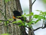 American Redstart, Male