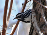 Black-and-white Warbler, Male Alternate Plumage