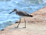 Western Willet, Basic Plumage