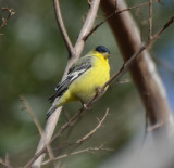 Lesser Goldfinch, Male Western
