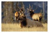 Bull Elk Jasper 1