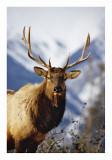 Bull Elk Jasper 2