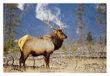 Bull Elk Jasper 3