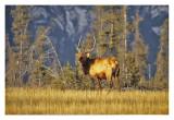 Bull Elk Jasper