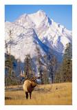 Bull elk and mountain #1
