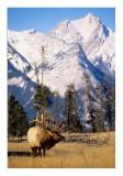 Bull elk and mountain #2